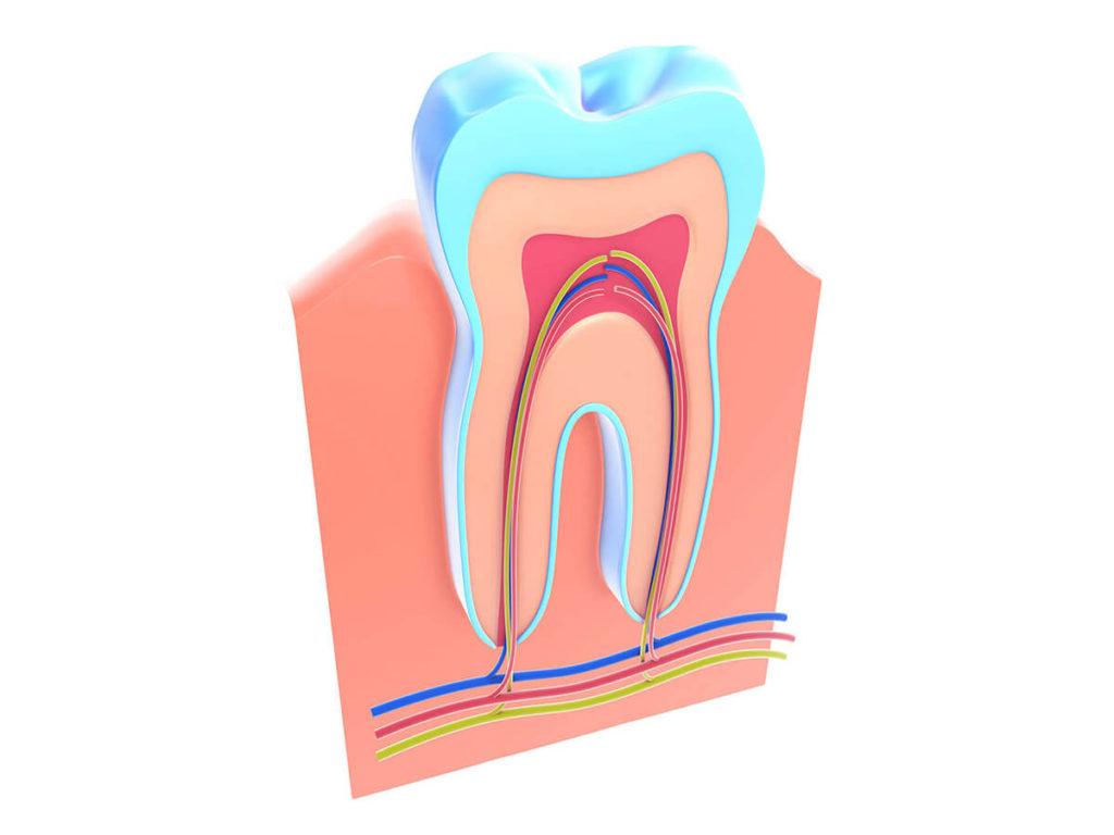 Illustration of a tooth cross-section showing the interior nerves and capillaries that extend in the roots